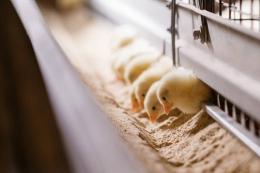 За 4 місяці Україна ввезла з-за кордону 32,5 млн голів живої птиці