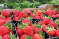 Польські плантатори залучають співвітчизників до збирання полуниці