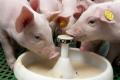 Замінник молока додають у раціон поросят лише в крайніх випадках