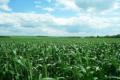Китай очікує рекордного рівня виробництва зерна