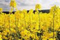 На посівах ріпаку озимого спостерігається багато пустоцвітів