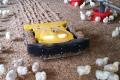 Робот стимулює бройлерів рухатися