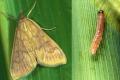 Аграріїв Черкащини попереджають про активізацію стеблового кукурудзяного метелика