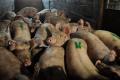 За вісім місяців Україна більше ніж удвічі скоротила експорт живих свиней
