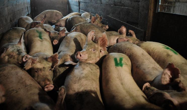 Грубе поводження зі свинями під час перевезення на забій призводить до їхнього травмування
