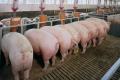 Рекомендації для отримання якісного комбікорму для свиней
