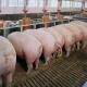 Свинина в закупівлі подешевшала до 43,9 грн/кг