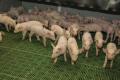 Вірусні захворювання сьогодні є найбільшою небезпекою для свинарства
