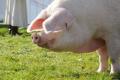В американських раціонах для свиней не використовується рослинна олія