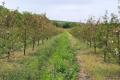 «Тріада-МК» розширює вишневі сади на Вінниччині