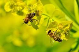 Вчені пояснили, як саме неонікотиноїди впливають на бджіл
