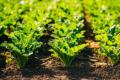 Шкідники рослин буряків цукрових мають різні економічні пороги