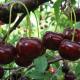 СФГ «Вікторія» робить ставку на якість кісточкових фруктів