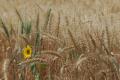 Агрофірма «Колос» розвиває кілька напрямів селекції озимої пшениці