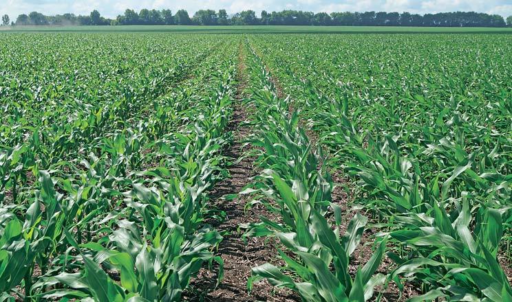 Кораген® — рятівник посівів кукурудзи та інших польових культур