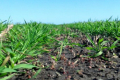 Внесення глинистих мінералів у ґрунт сприяє підвищенню урожайності культур