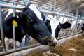 Як оцінюють вигляд кормового столу для корів