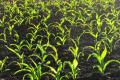 Прибавка врожайності кукурудзи на розкислених ґрунтах сягає 65%, – досвід