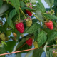 Британська програма розведення малини представила нові сорти