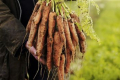 Продажі моркви в Європі нерівномірні
