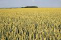 У господарстві «Україна» вносять азот для збільшення маси зернин озимої пшениці
