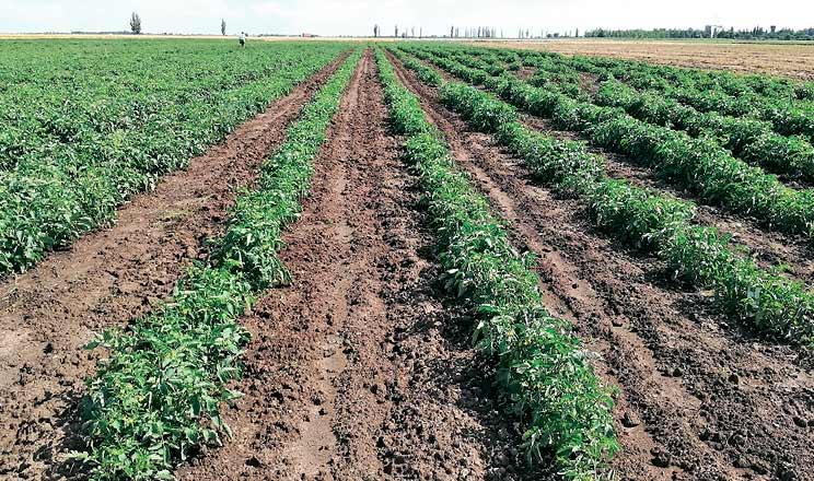 Вплив живлення на врожайність томатів