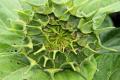 Як зменшити шкідливість бавовникової совки на соняшнику