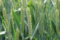 «Юхимівське» на Вінниччині вирощує сорти озимої пшениці лише іноземної селекції