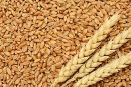 ООН закупила 120 тис. тонн Чорноморської пшениці для Ефіопії