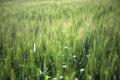 Рекомендовано оптимальну кількість сортів озимої пшениці для сівби у господарстві