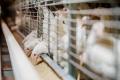 Як птиці підвищити засвоюваність поживних речовин із раціону