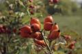 Волоський горіх вирощують разом із шипшиною та фундуком