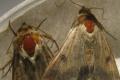 Які інсектициди здатні знизити чисельність бавовникової совки