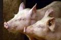 Живець свиней втратив у ціні 1,9%