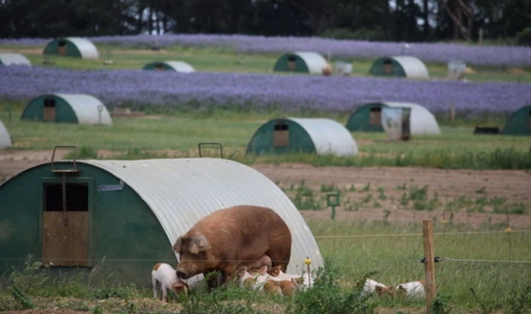Англійські свинарі годують мільйон бджіл