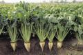 На Полтавщині «Дружба» збільшує площі посівів під цукровими буряками