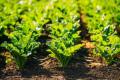 Видовий склад шкідників на посівах буряків цукрових залежить від зони вирощування культури