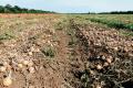 Овочівники Росії роздають цибулю безкоштовно