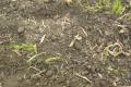 Гранульовані  глинисті агромінерали допоможуть перезимувати пшениці