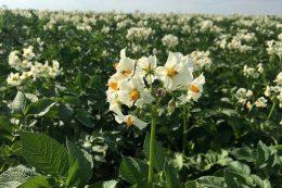 Вчені розповіли як відновити вітчизняне насінництво картоплі
