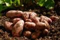 У Нідерландах збільшується площа насіннєвої картоплі