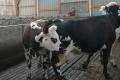 Миколаївський «Промінь» будує корівник на 2,3 тис. голів