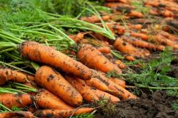 Морква дешевшає через низький попит