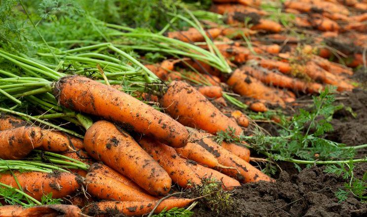 Волинський фермер вирощує дуже солодку моркву