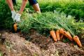 У Німеччині росте попит на органічну моркву