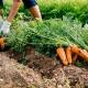 Фермери знижують ціну на моркву
