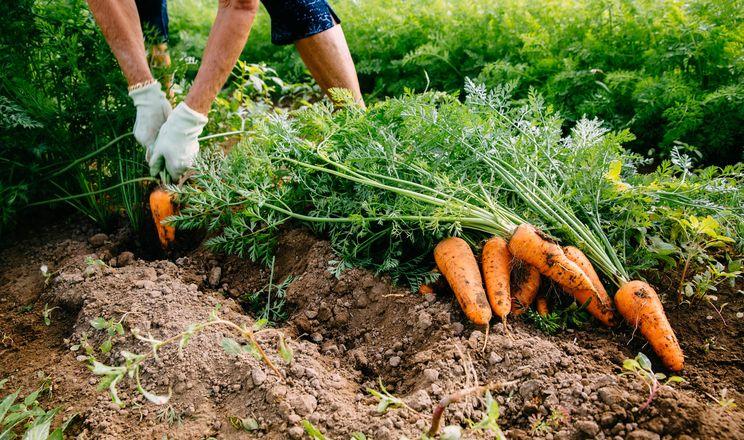 Морква дешевшає, але ціна ще не впала до минулорічного рівня
