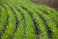 У «Колосі» повідомили, де краще вирощувати пропоновані ними сорти пшениці озимої