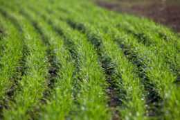 Які хвороби озимої пшениці можуть проявитись у посівах ранньої весни