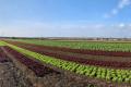 Фермер щодня продає до двох тонн салатів